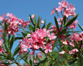 Oleander flower flora typical of the Mediterranean in southern E — Stock Photo