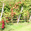 Vineyard in autumn with a rose plant at the base — Stock Photo