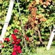 Red rose's rose garden and pergolas of grapes in the vineyard — Stock Photo #33283723