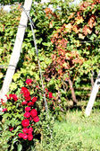 Red rose's rose garden and pergolas of grapes in the vineyard — Stock Photo