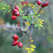 Stock Photo: Berries of rose garden in autumn full of thorns and prickles
