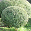 Hedge of bushes in a garden cut as big and fluffy pillows of lea — Stock Photo