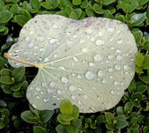 Overturned leaf with dew drops on the hedge — Stock Photo