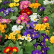 图库照片: Many flowers primulspring in wholesale 2