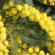 图库照片: Yellow Mimosto give women in international women's day
