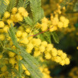 Mimosa Bush to give all women during international women's day — Stock Photo