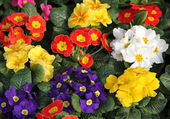 Primula vases on sale at flowermarket — Stock Photo