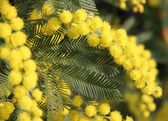 Yellow Mimosa to give women in the international women's day — Stock Photo