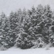 Stock Photo: Whitewashed trees during copious snowfall in winter