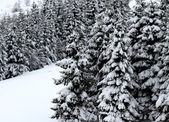 Fir trees covered with snow in the mountain — Stock Photo