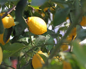Yellow ripe lemons hanging from a tree in the orchard — Stock Photo
