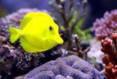 Yellow tropical fish that swims in the large marine aquarium — Stock Photo