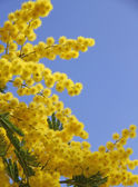 Yellow mimosa in bloom and the blue spring sky — Stock Photo