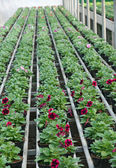 Flowering plants in spring in the greenhouse nursery sales — Stok fotoğraf