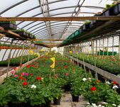 Geraniums blooming in spring in the greenhouse nursery — Stock Photo