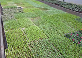 Small fruit plants sprouts in large greenhouse in a warehouse in — Foto de Stock