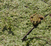 Toad waiting to eat any insect camouflaged amidst the pond — Stock Photo