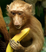 Cute Chimp with banana in paw — Stock Photo