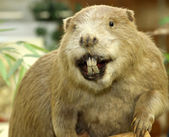 Big Beaver with huge incisors — Stock Photo