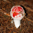 Venomous deadly amanita muscaria mushroom poisonous — Stock Photo