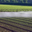 Automatic irrigation system for a field of salad — Stock Photo