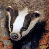 Badger in the middle of the forest — Stock Photo