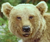 Brown bear in the middle of the forests — Stock Photo