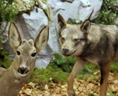 Deer in mortal danger with the Wolf — Stock Photo