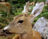 Deer fallow deer wild animals of the forest — Stock Photo