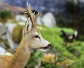 Fallow deer wild animals of the forest — Stock Photo