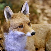 Fox while resting lying in the middle of the leaves 2 — Stock Photo