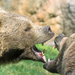 Bears struggle with mighty bites and blows the mouth open and th — Stock Photo #44738605