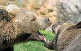 Bears struggle with mighty bites and blows the mouth open and th — Stock Photo