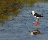 Black-winged stilt bird with tapered legs walking — Stock Photo