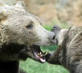 Ferocious bears struggle with powerful shots — Stock Photo