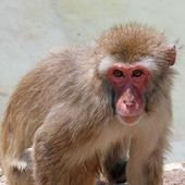 Meaningful look of a macaque monkey — Stock Photo