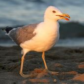 Seagull on the shore of the beach — Stock Photo