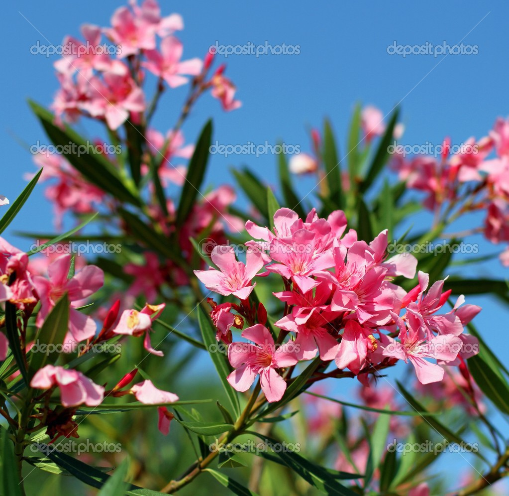 oleander blume flora typisch f r das mittelmeer. Black Bedroom Furniture Sets. Home Design Ideas