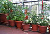 TOMATO plants on the terrace of the apartment in the city — Stock Photo