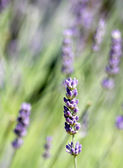 Clumps of Purple LAVENDER in the large lawn in bloom — Stock Photo