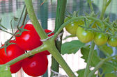 Red ripe tomatoes and Green Tomato unripe in the plant in the ga — Stock Photo