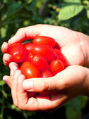 Child's hands with the Red freshly picked tomatoes in summer — Stock Photo
