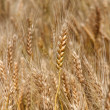 Yellow ripe wheat stalks are ready to be harvested 3 — Stock Photo #48983881