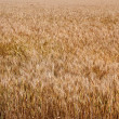 Yellow ripe wheat stalks are ready to be harvested 2 — Stock Photo #48984139