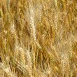 Ripe wheat stalks are ready to be harvested in summer — Stock Photo #48984171