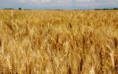 Huge  field of wheat stalks are ready to be harvested in summer — Zdjęcie stockowe