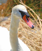 Elegant Swan female with very long necks and beaks — Stock Photo