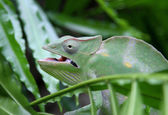 Green Chameleon camouflages itself in the midst of the green lea — Stock Photo