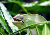 Chameleon camouflages itself in the midst of the green leaves an — Stock Photo