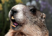 Groundhog with yellow teeth while whistling — Stock Photo